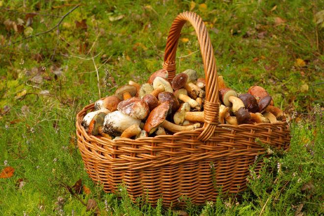 Grzyby w Polsce: kiedy i jak zbierać borowiki, kurki, a kiedy maślaki? [WIDEO]